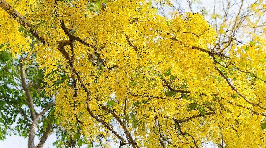 Este es el árbol de la vida que sembrará el Papa Francisco en Villavicencio